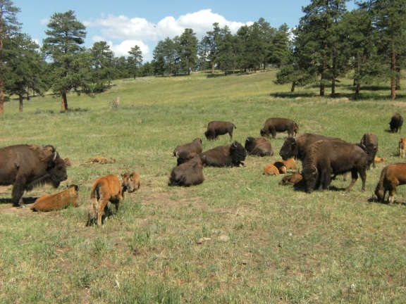 heard of about 15 buffalos, babies and adults