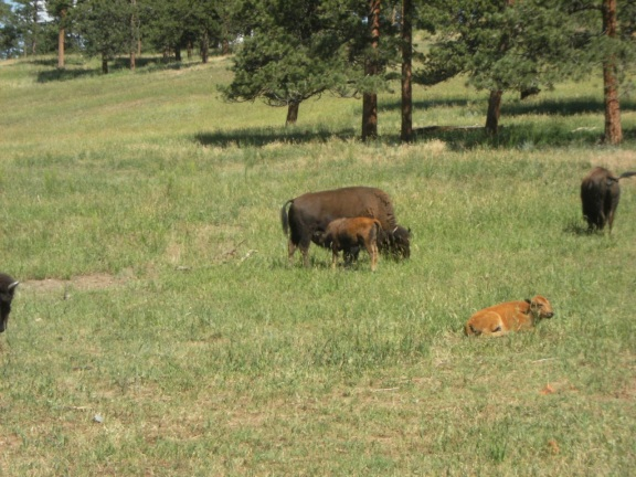 baby buffalo nursing from an adult femal buffalo