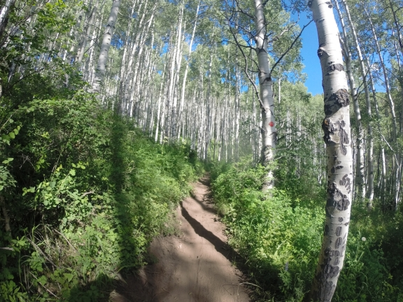 Narrow dirt singletrack weaving through a thick aspen glade, white bark of the 30 ft trees glistening in the sun