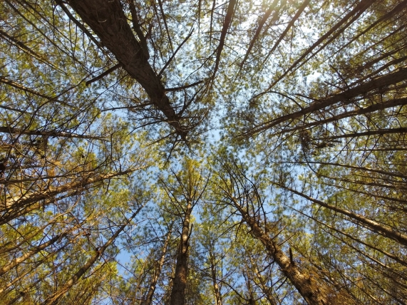 Looking straight up into the treetops.
