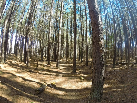 Smooth forest floor, pine tree trunks.