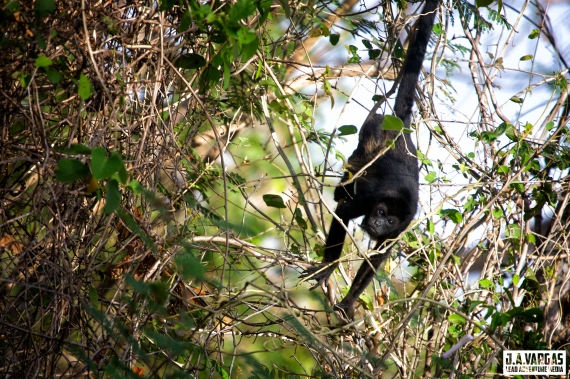 Monkey hanging from its tail in a tree at Playa Conchal Costa Rica.