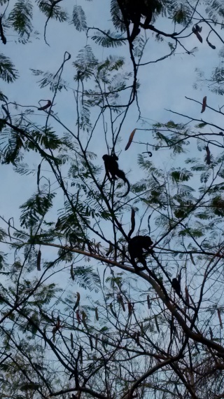 Howler monkeys in the trees near Playa Conchal Costa Rica.