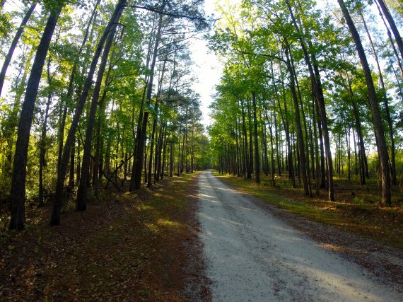 Gravel road flanked by forest, tall pine and hardwood trees.
