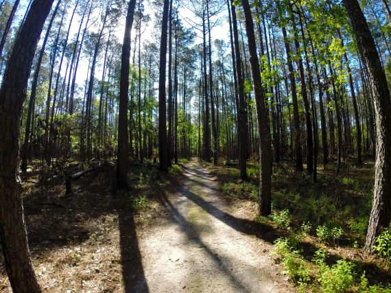 Natural surface trail through tall pine forest at Goose Creek State Park.