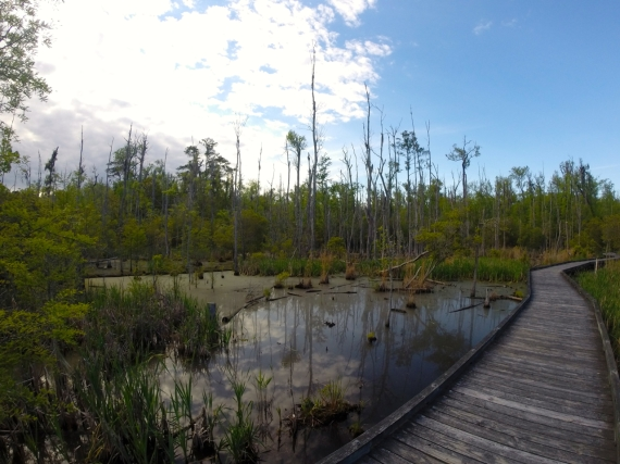 Narrow wooden boardwalk over swamp.